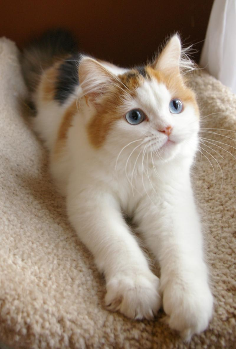 Ragamuffin Kittens Available