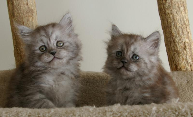 RagaMuffin Kittens RagaMuffin Cats