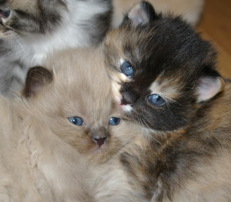 RagaMuffin Cat RagaMuffin Kittens