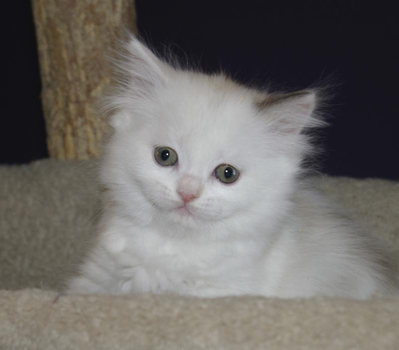 Imperial Rags RagaMuffin Kittens - Past Litters