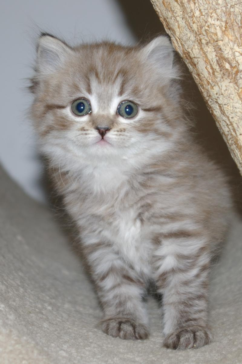 Imperial Rags RagaMuffin Kittens RagaMuffin Cats Past Litters